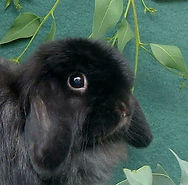 Pet Rabbit World's stunning black Mini Cashmere Lop