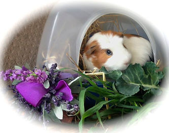gorgeous little guinea pig