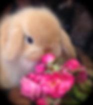 The sweetest orange baby Mini Lop in Pet Rabbit World!
