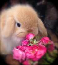 The sweetest orange baby Mini Lop in Pet Rabbit World!