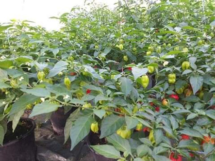 So many peppers getting ready! European Flavour Factory
