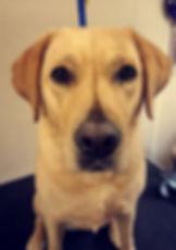 groomtastic dog spa labrador