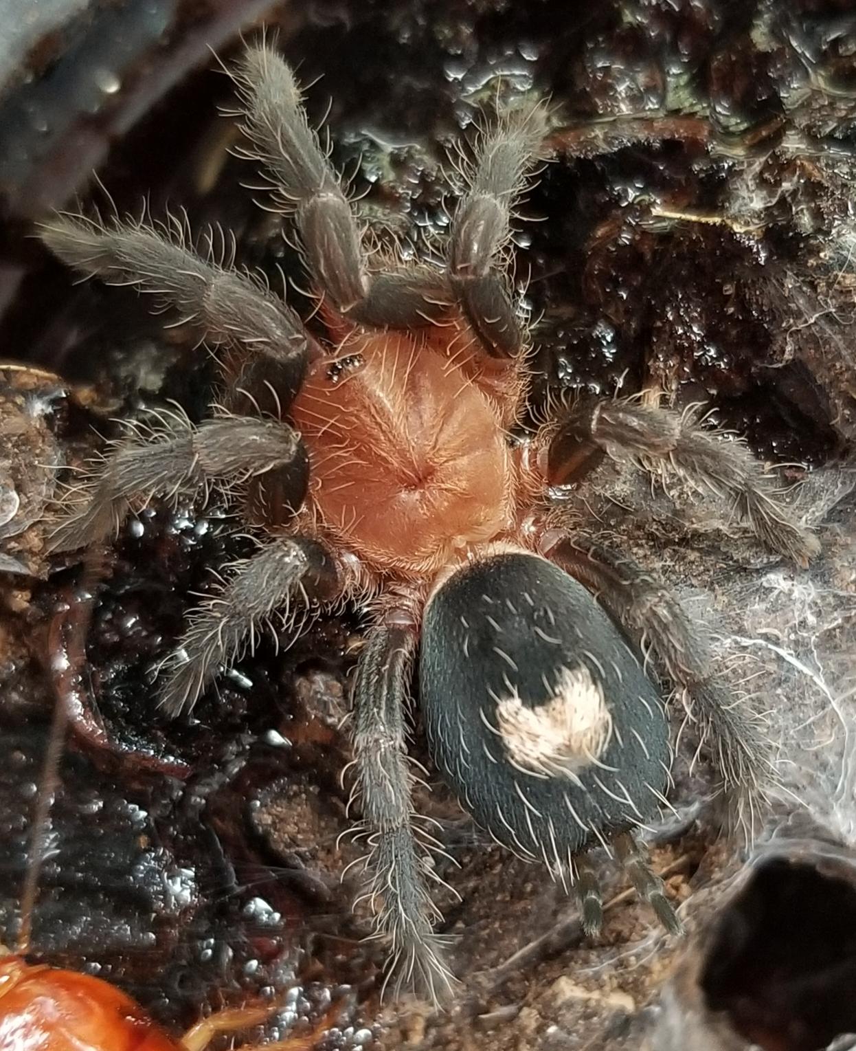Cyriocosmus peruviensis