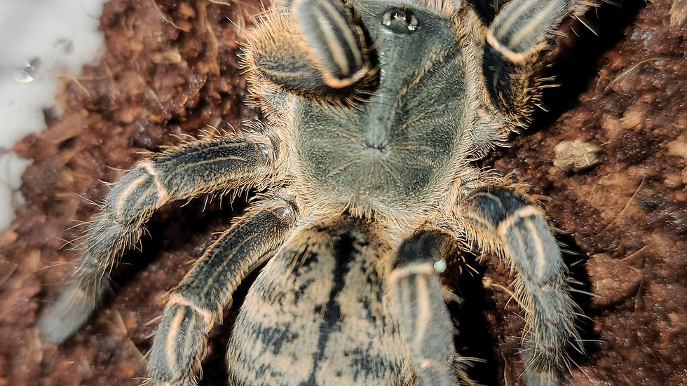 Haplopelma sp Vietnam FEMALE