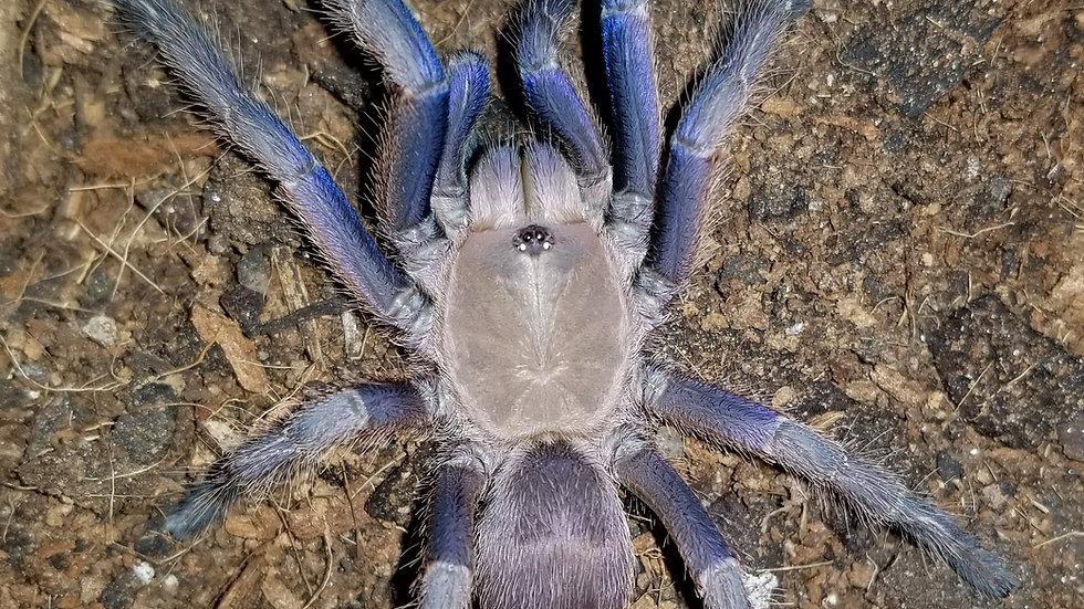 Chilobrachys sp Vietnam Blue