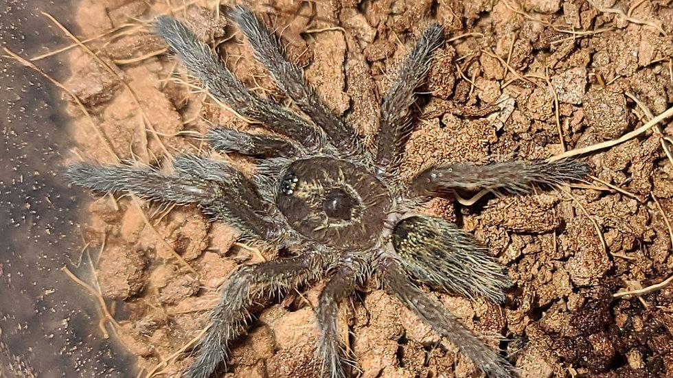 Ceratogyrus brachycelphalus