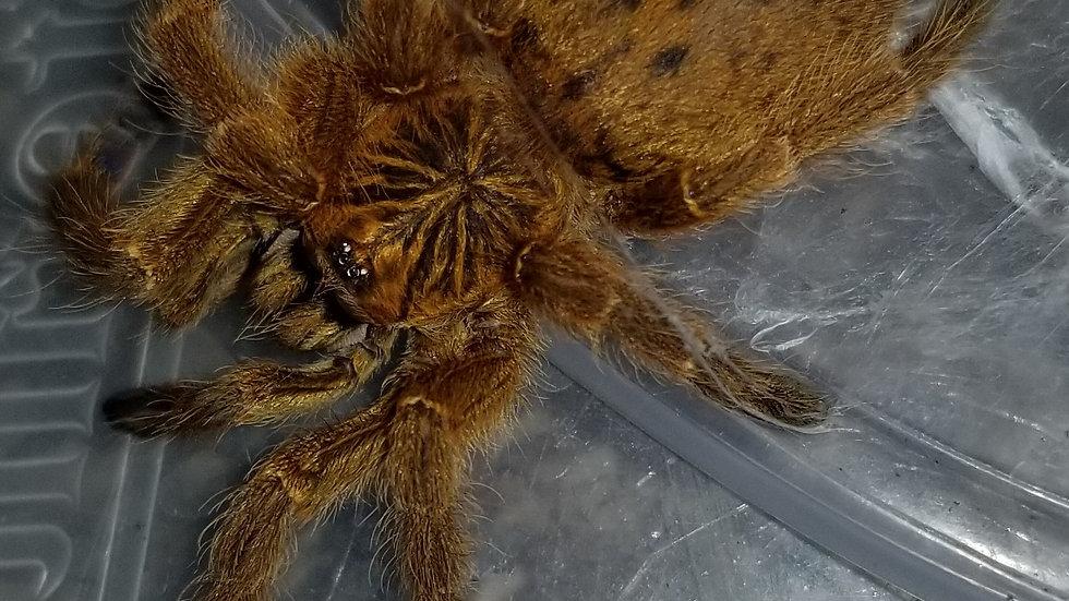 Pterinochilus murinus OBT