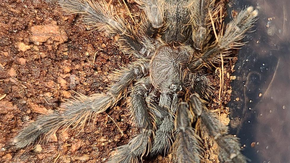 Phormingochilus sp Sabah blue