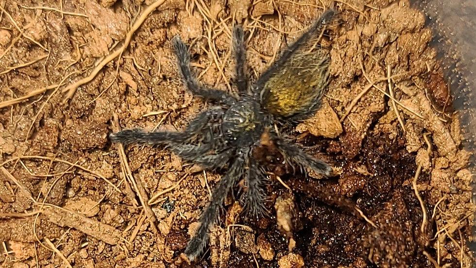 Pterinochilus murinis DCF Botswana/Zimbabwe