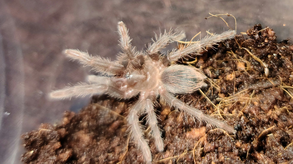 Acanthoscurria sp red