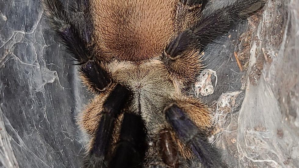 Monocentropus balfouri FEMALE