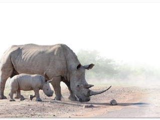 Poachers to be de-horned