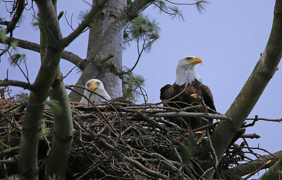 Two Bald Eagles in a nest..jpg