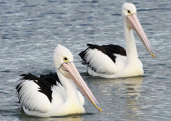 Australian Pelican 16A9395-06-11.jpg