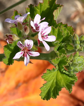 Native pelargonium 19D9260-10-27.jpg