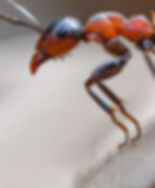 european-wood-ant-via-getty-images.jpg