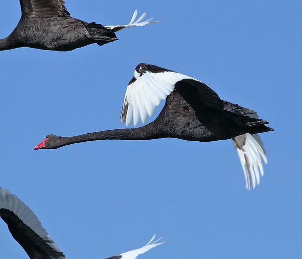 Black Swan 15C8565-08-23.jpg