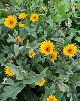 False sow thistle IMG_0218.jpg