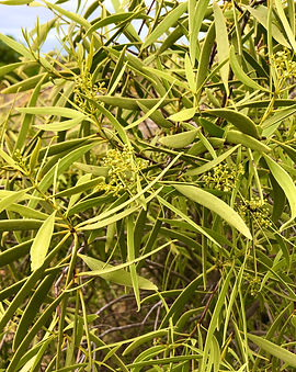 Native apricot IMG_3031.jpg