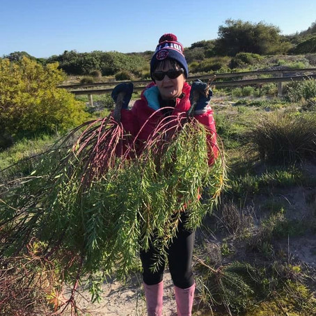 """Adelaide seniors and unemployed volunteers tackling toxic weeds at Taperoo beach"""