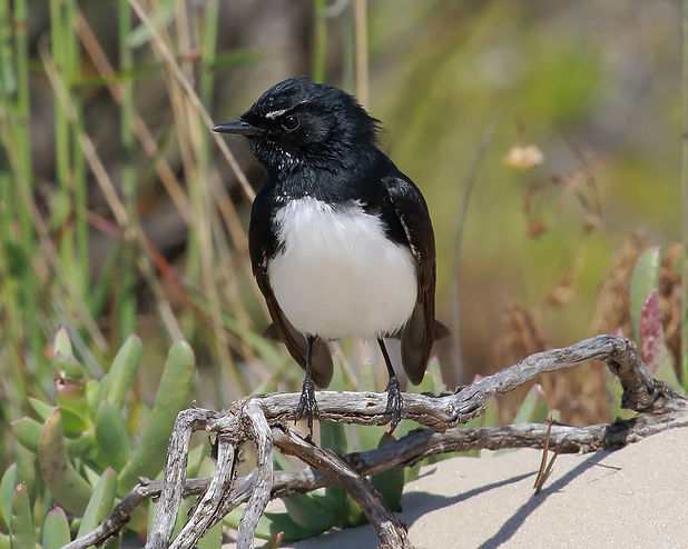 willy wagtail 17A2666-09-15.jpg