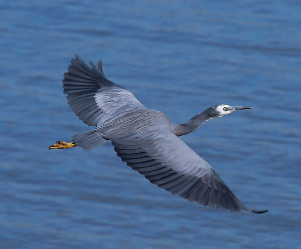 white faced heron.jpg