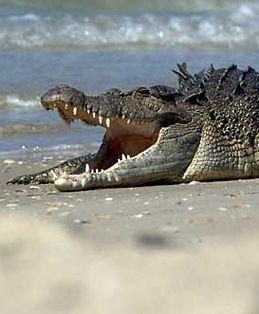 Saltwater-crocodile1.jpg
