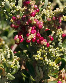 Seaberry saltbush KM.jpg