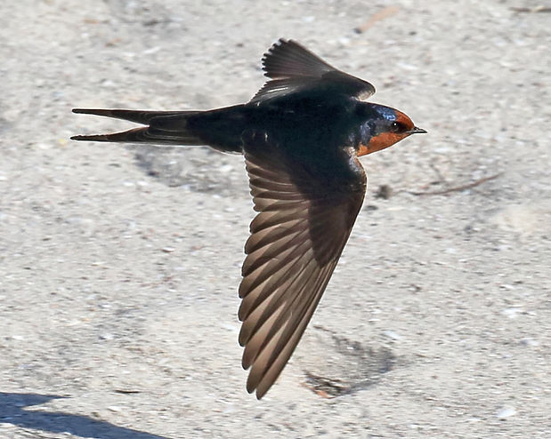 Welcome Swallow 16A3519-09-04'.jpg