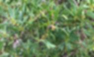 native juniper.jpg