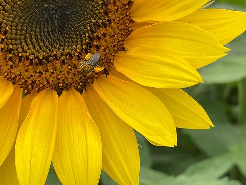 Pollinator ©H Alex Harrison 2021