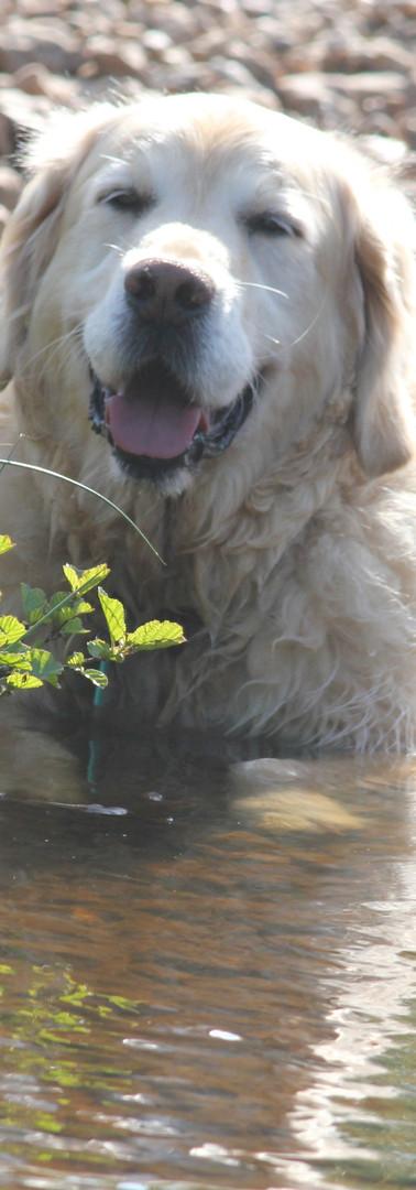 golden in brook