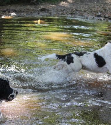 spaniels play in stream