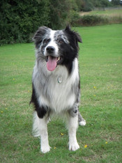 Blue Merle with White
