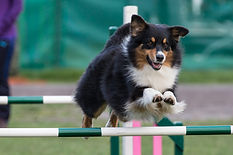 Best Aussie in Agility 2018 Lamintone Dare to Dream
