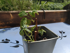 Bouturer ses plantes aromatiques et ses arbustes