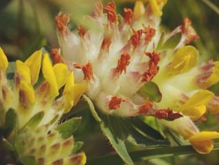 La Plante vu autrement : L'anthyllide vulnéraire