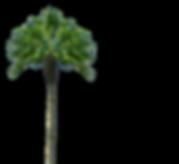palma de coco biokoko