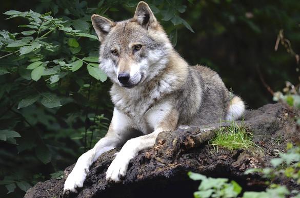 Le parc des loups