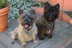 Two Carin Terriers Well Trained by DoggydTails