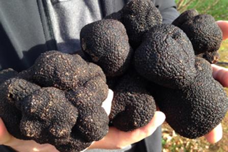 Fresh West Australian Black Perigord Truffles From $75 delivered