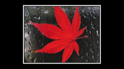 Raindrops and Red Leaves