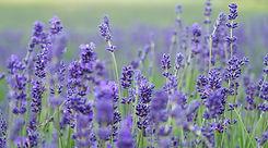 5-luvin-lavender-farm.jpg