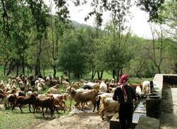 Shepherd and his flock on trekking path at Mazraat el Touffah, North Lebanon