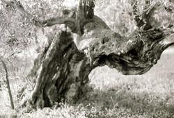Old olive tree - Lebanon