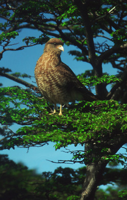 Hawk near Glaciar Martial, Ushuaia, Tierra del Fuego, Patagonia, Argentina