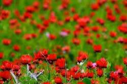Fields of wild anemones in South Lebanon