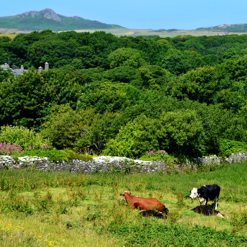 Welsh hills and cows