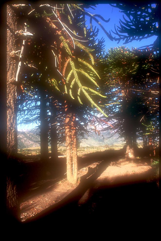 Araucarios, Parque Lanín, Argentina