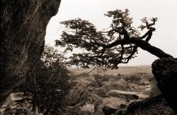 Lindo_árbol_Patagonico_frente_a_la_Cueva_del_Milodón_Patagonia_Chile